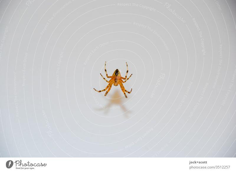 Spinnen am seidenen Faden 1 Freisteller Schatten minimalistisch Tierwelt Insekt klein Ganzkörperaufnahme Hintergrund neutral authentisch Mittelpunkt hängen
