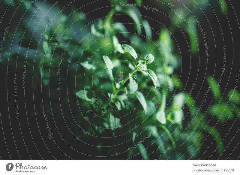 Nahaufnahme von Oregano verschwommene und fokussierte Oregano-Blätter grün Kraut natürlich organisch Garten Pflanze frisch Blatt Hintergrund Natur Lebensmittel
