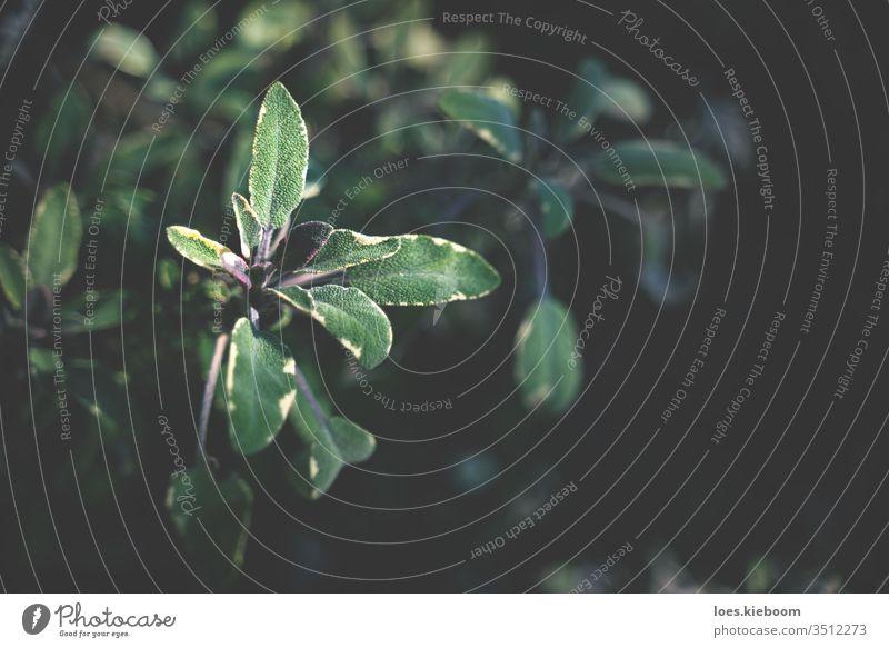 Nahaufnahme von verschwommenen und fokussierten Salbei-Trikolore-Blättern grün Kraut natürlich organisch Garten Pflanze frisch Blatt Hintergrund Natur
