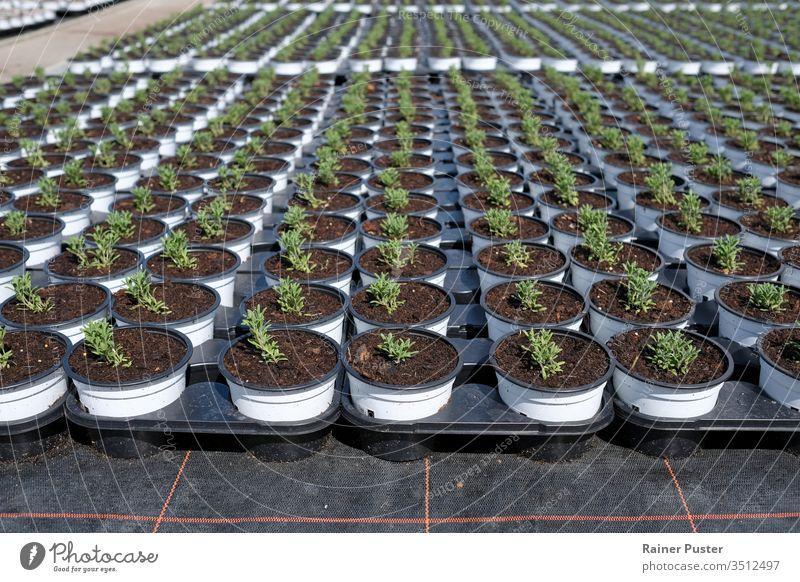 Rosmarin wird als nächstes auf einer Plantage angebaut landwirtschaftlich Ackerbau Feld Lebensmittel Gewächshaus Wachstum Kraut Kräuterbuch organisch Pflanze