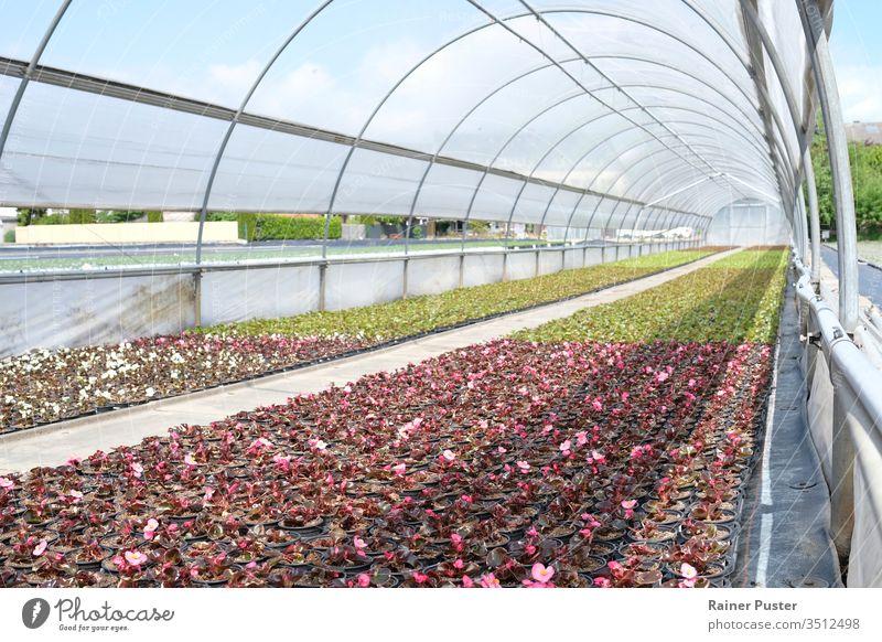 Blumen in einem Gewächshaus an einem sonnigen Tag landwirtschaftlich Ackerbau kultivieren Bodenbearbeitung Bauernhof Landwirtschaft Feld Flora geblümt