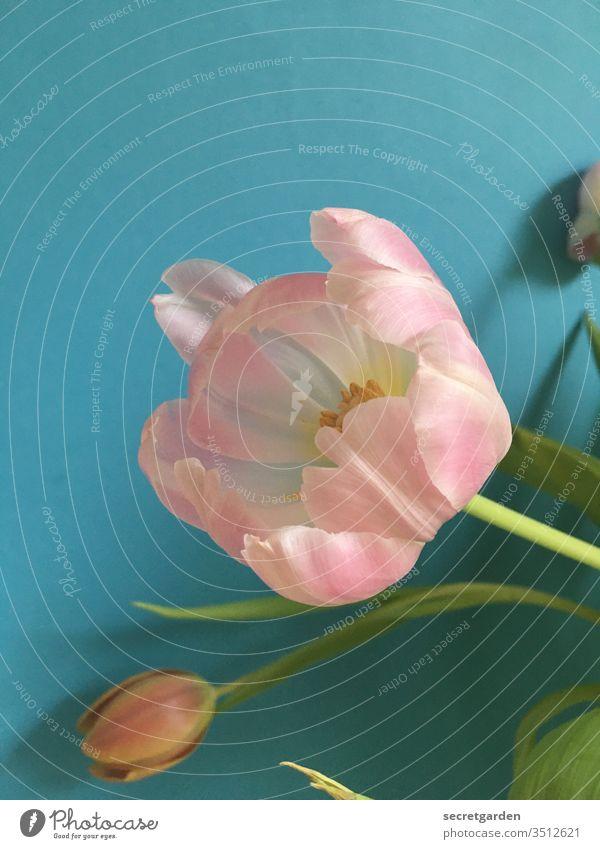 erblühend. Tulpe Tulpenblüte Tulpenknospe Blumenstrauß rosa türkis minimalistisch Wand Farbe Frühling Pflanze Farbfoto Blühend Innenaufnahme Blüte grün Tag