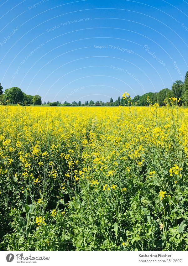 Rapsfeld im Mai Rapsanbau Umwelt Feld Farbfoto Außenaufnahme Landschaft Pflanze gelb Tag Natur Frühling Blühend Himmel Menschenleer Sonnenlicht Wachstum