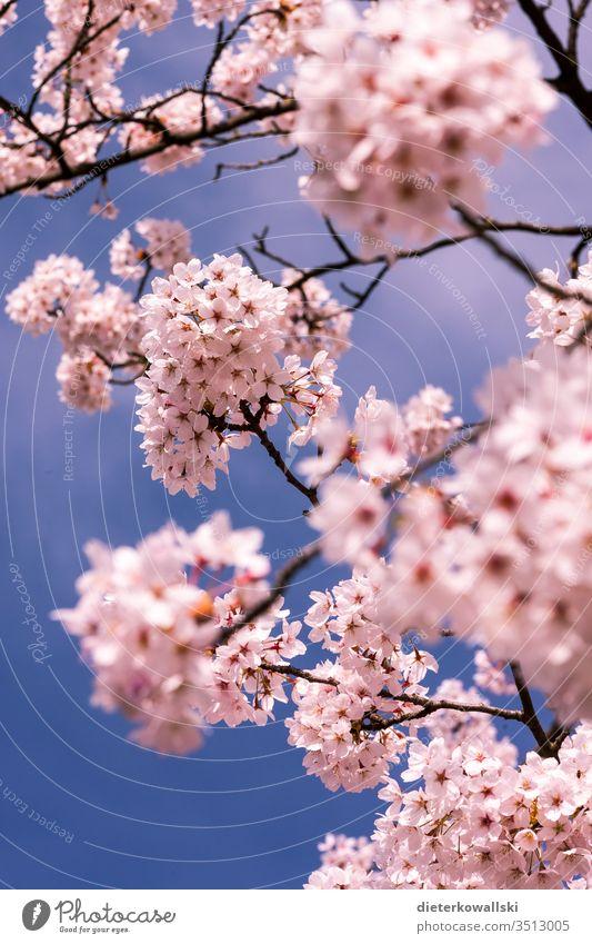 Kirschblüten im Frühling Kirsche rosa Blüte Kirschbaum Ast Blühend Natur Zweig blau Himmel Farbfoto Außenaufnahme schön Pflanze Park Schönes Wetter Menschenleer