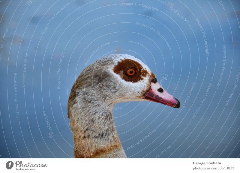 Die ägyptische Gans (Alopochen aegyptiacus) gehört zur Familie der Enten, Gänse und Schwäne (Anatidae). Afrika Afrikanisch alopochen aegyptiaca Tier Hintergrund