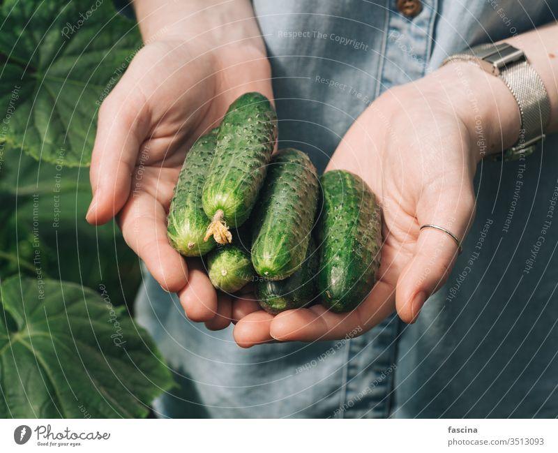 Gurken in Frauenhänden, im Freien Hände Halt natürlich Garten Gemüse organisch frisch unkenntlich jung Hipster Jeansstoff Hemd Tageslicht Ackerbau Bauernhof