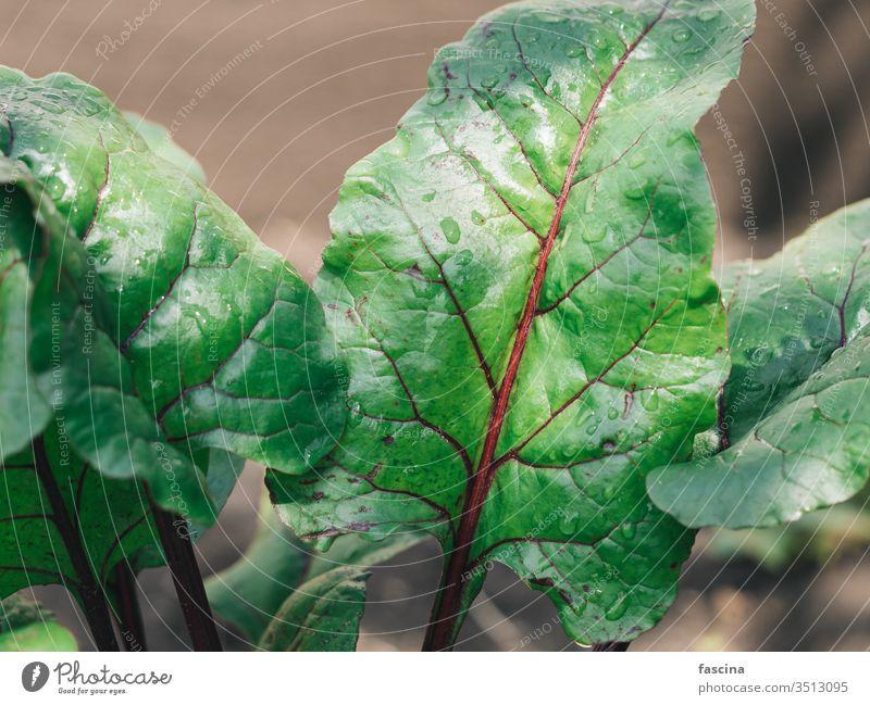 Bio-Rüben- oder Mangoldblätter im Garten Rote Beete Blatt Rote-Beete-Blatt Wurzel Hintergrund Rübenblätter Gemüse natürlich Vorbau organisch Veggie Lebensmittel