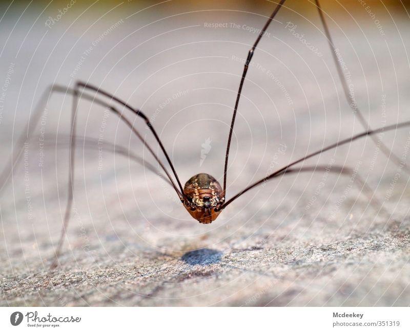 Der schwebende Punkt Tier Wildtier Spinne Tiergesicht 1 dünn eckig exotisch gruselig lang Neugier blau braun grau schwarz weiß drahtig Beine Auge Weberknecht