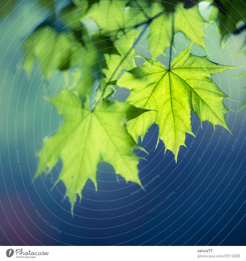 hellgrüne Ahornblätter im Gegenlicht vor dunkelblauem Hintergrund Natur Frühling Blätter Ahornblatt Pflanze Freisteller Hintergrund neutral Textfreiraum unten