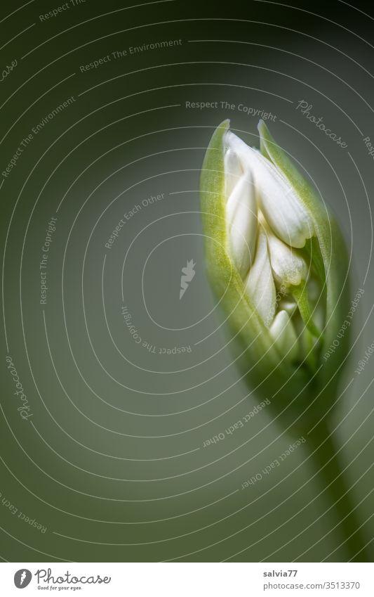 Bärlauchknospe öffnet sich Natur Blütenknospe Frühling Schwache Tiefenschärfe Pflanze Heilpflanzen Allium ursinum Makroaufnahme wachsen Garten öffnen aufbrechen