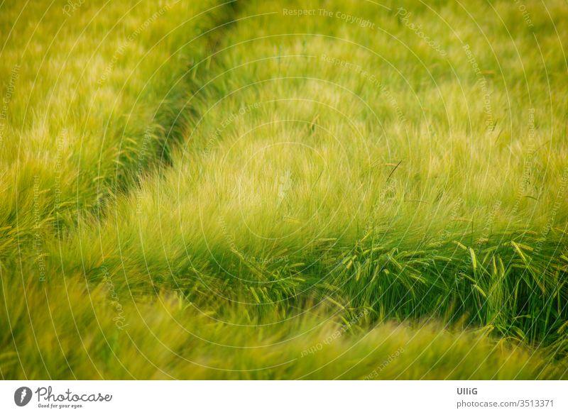 Reifendes Getreidefeld - Ein reifendes Getreidefeld wiegt sich im Wind. Kornfeld Feld Acker Landwirtschaft wiegen Landleben Umwelt Wetter Sommer Natur