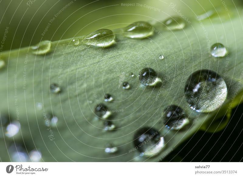Regentropfen auf einem Blatt Natur Tropfen rund Wasser grün nass Garten frisch Makroaufnahme Pflanze Frühling glänzend Schwache Tiefenschärfe Tau Menschenleer