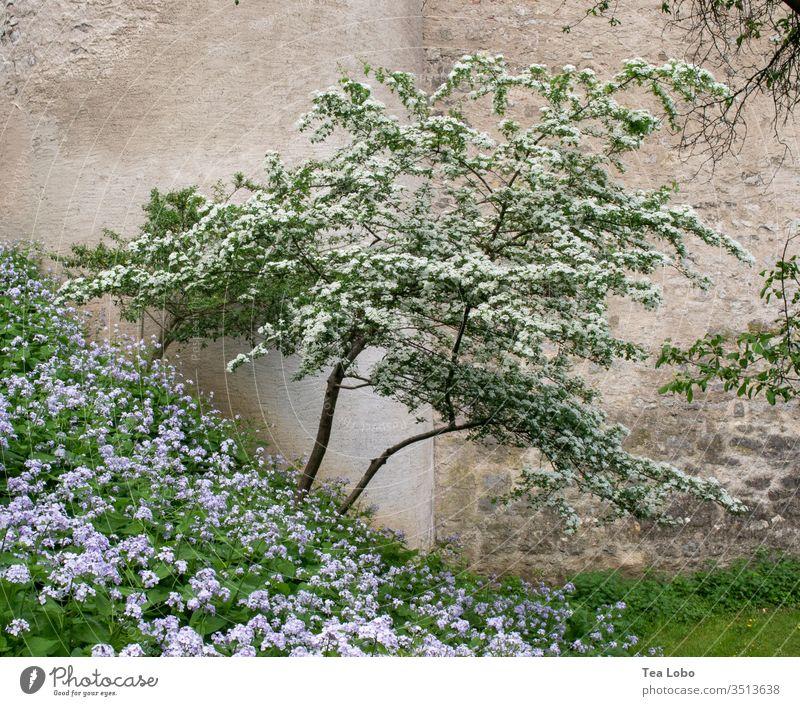 Abgeschrägter Baum Blüte Kirschbaum Frühling Natur rosa Blumen