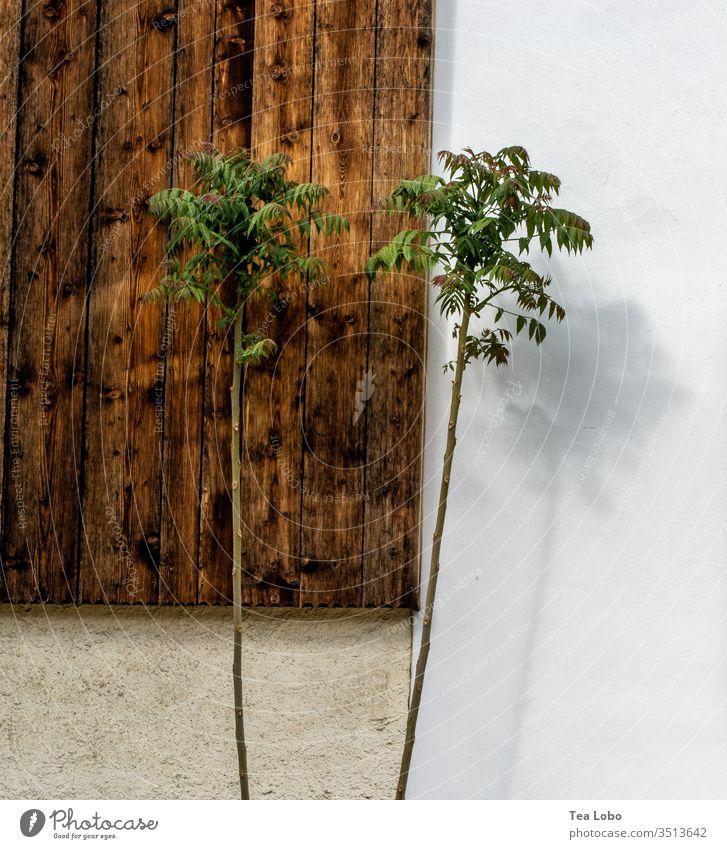 Zwillingsbäume mit Schatten zwei Hütten Kontrast hell und dunkel Außenaufnahme Zwillinge