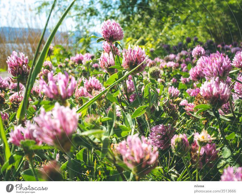 Klee am See Frühling Tag Außenaufnahme Farbfoto Pflanze grün Natur Kleeblatt Nahaufnahme Grünpflanze Makroaufnahme Detailaufnahme Menschenleer