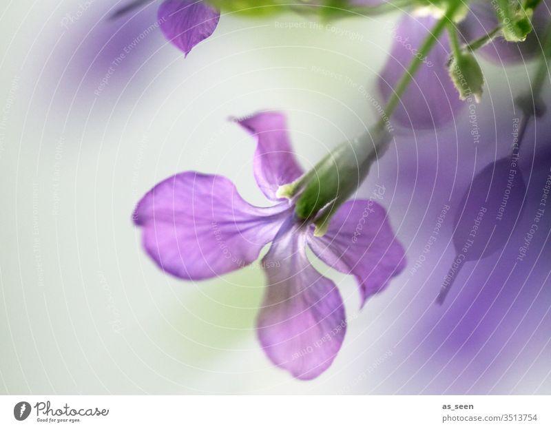 Lila Blüte Blume grün lila violett hängend Wachstum Frühling Sommer Pflanze Natur Blühend Farbfoto Garten Außenaufnahme Menschenleer Schwache Tiefenschärfe
