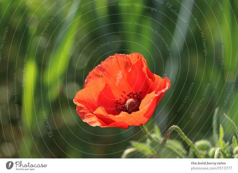 Mohnblume Frühling Feld rot Blume Sonne Pflanze Sommer Farbfoto Natur Blüte Außenaufnahme Blühend Sonnenlicht Wildpflanze Wachstum Schönes Wetter Menschenleer