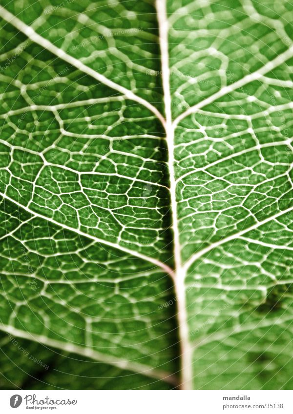 Blatt grün Netzwerk Verbindung Vernetzung Gefäße Geäst Verbundenheit
