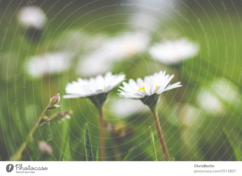 weiße Gänseblümchen auf der Wiese Frühling grün Natur Blumen Gras Blüte Nahaufnahme Wiesenblume Außenaufnahme Farbfoto Blühend Schwache Tiefenschärfe