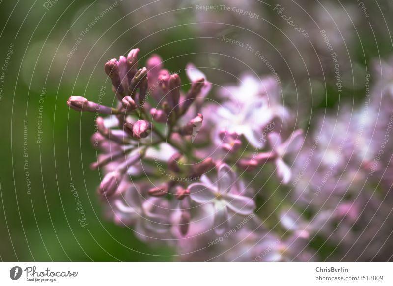 lila Fliederblüte Blüte Blume Pflanze Mai Natur Strauch Frühling Nahaufnahme Farbfoto Garten Außenaufnahme Blühend violett Schwache Tiefenschärfe Unschärfe