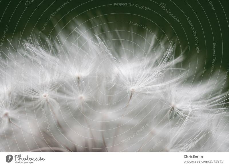 Pusteblume in Nahaufnahme Butterblume abgeblüht Samen Natur Pflanze Blüte Löwenzahn Makroaufnahme Frühling Farbfoto Außenaufnahme weiß Schwache Tiefenschärfe