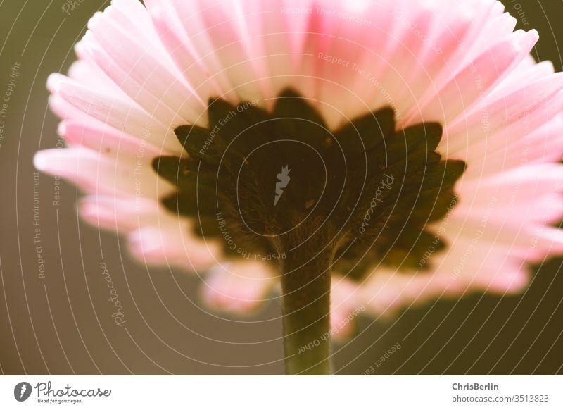 Rosa Gänseblümchen von unten Bellis perennis Blüte Blickwinkel rosa Natur Pflanze Blume Frühling Nahaufnahme Makroaufnahme Farbfoto Außenaufnahme