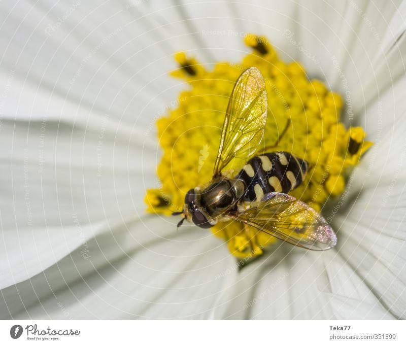 Schwebetäuschung Natur Pflanze Blume Tier Umwelt Garten Wildtier Fliege ästhetisch