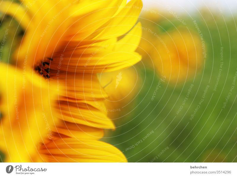 sonnenschein Unschärfe Kontrast Licht Tag Menschenleer Detailaufnahme Nahaufnahme Außenaufnahme Farbfoto Hoffnung Schönes Wetter Sonnenblumenfeld leuchten