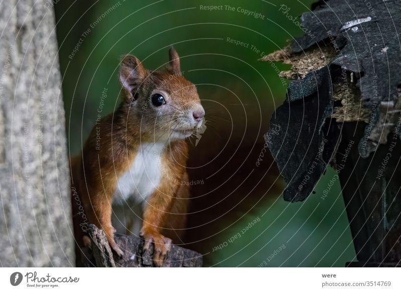 Braunes Eichhörnchen im Sommerfell auf einem Ast im Wald Hintergrund Europäisches Braunes Eichhörnchen Sciurus vulgaris Tier Niederlassungen Textfreiraum