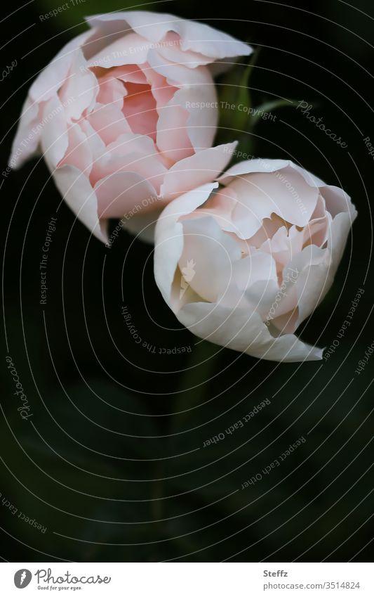 zwei edle Rosen edel rosenblüte blühen rosa elegant romantisch schön Duft Blüte Blume Rosenblüte Rosenduft dunkelgrün Hintergrund neutral Licht & Schatten