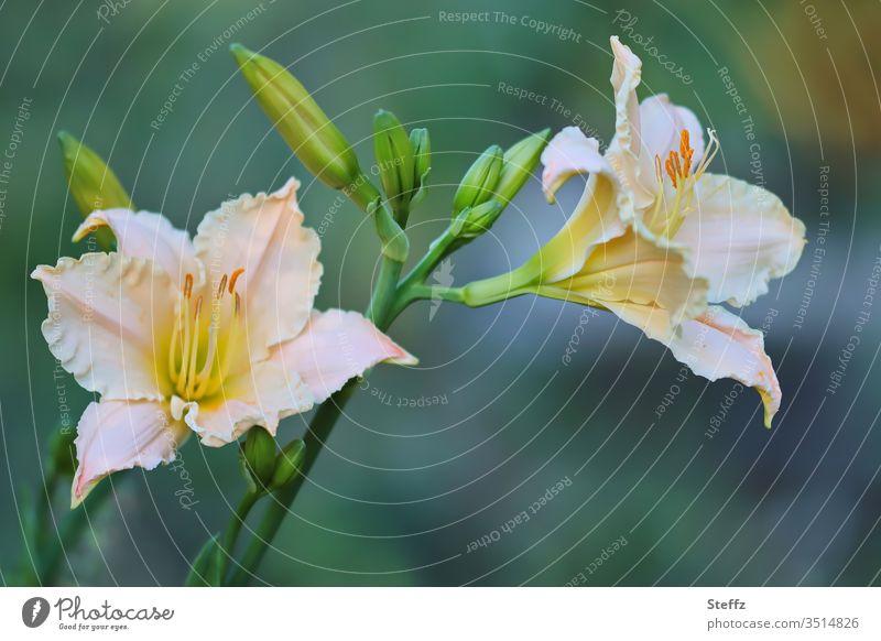 blühende Lilien Lilienblüte Blüte Blume Blühend Gartenblumen natürlich schön Gartenpflanzen grün sommerlich Tageslicht Schwache Tiefenschärfe edel blütenblätter