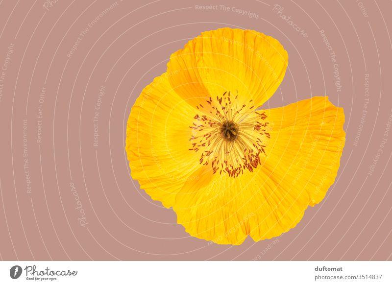 gelbe Mohnblume, Makroaufnahme Klatschmohn mohnblumen Natur Papaver rhoeas isoliert Blume Balkon Pflanze Sommer Mohnblüte Blüte Orange Blühend Duft