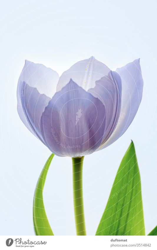 zarte lila Tulpe, durchleuchtet, Makroaufnahme tulipa Tulpenblüte Blume Balkon Pflanze Lila Sommer Blüte Blühend Romantik Duft ästhetisch Pflanzenfaser erblühen