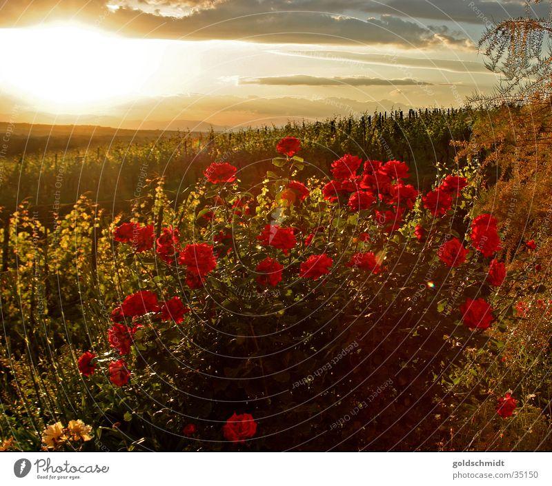 Rosen (Kitsch) rot Garten Romantik Abenddämmerung
