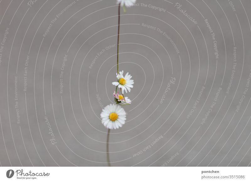 Kette aus Gänseblümchen vor grauem Hintergrund kette reihe blumen schmuck schön Nahaufnahme Dekoration & Verzierung weiß Außenaufnahme grün Gelb Sommer Frühling