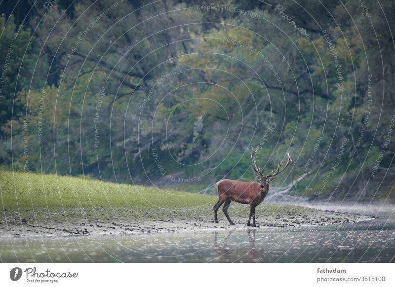 Rothirsche stehen am Fluss Tier Horn Herbst Biest schön Hirsche dramatisch Wald Hupe Jagd See männlich Säugetier Nationalpark Natur Beute Bleßwild Gelassenheit