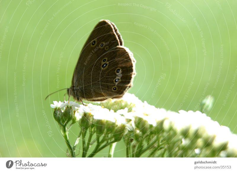 Schmetterling (auf Schafgarbe) Gewöhnliche Schafgarbe grün Blüte Frühling braun Makroaufnahme