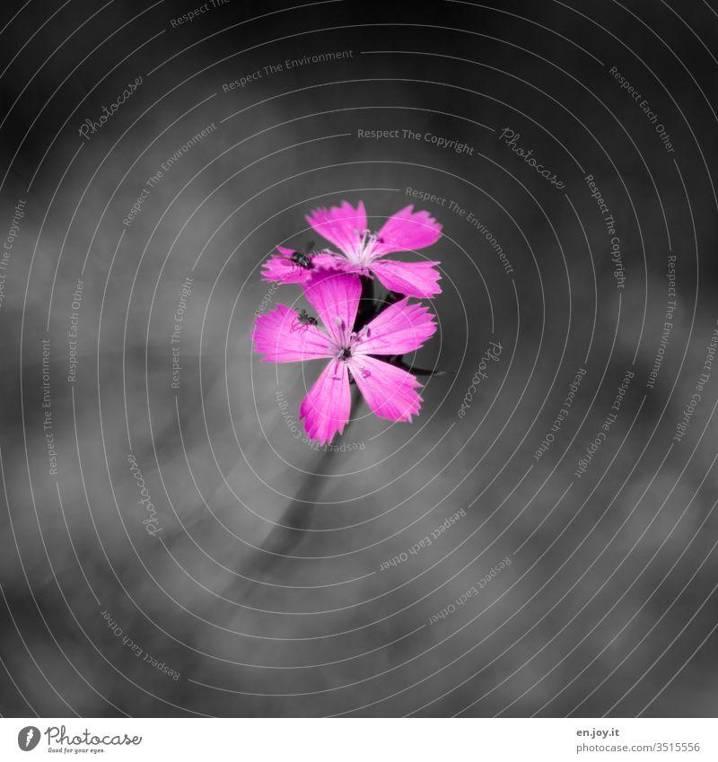 Rosa Blüte Blume Pflanze Wiesenblume Wildpflanze Fliege Insekten Fauna Flora Natur Farbfoto Blühend Außenaufnahme Tag Menschenleer Schwache Tiefenschärfe schön