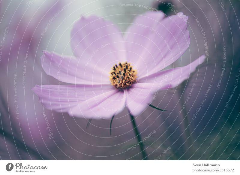 Makro von einem Schmuckkörbchen Farbfoto Blühend Blüte Blume Pflanze Natur Sommer Hintergrund neutral flower Garten Wachstum Außenaufnahme schön Vergänglichkeit