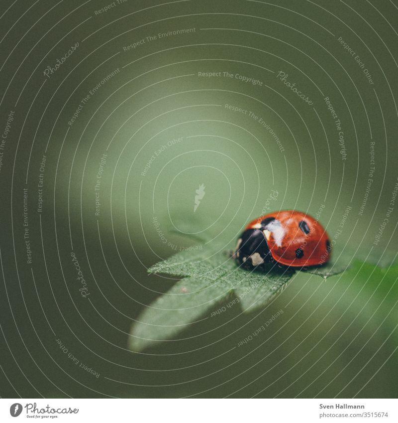 Marienkäfer sitzt auf einem Blatt Makroaufnahme Blütenblatt Sommer Käfer Pflanze rot Tier Insekt ladybug Blume Natur Nahaufnahme Außenaufnahme