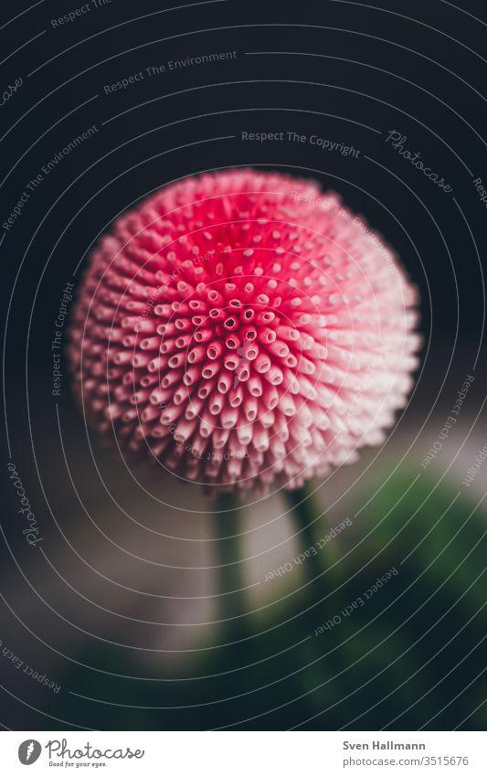 Nahaufnahme einer Bellie Blume Gänseblümchen Frühling Sommer Wiese Blüte grün Natur flower rosa zart Garten Liebe Pflanze schön rot klein Blütenblatt
