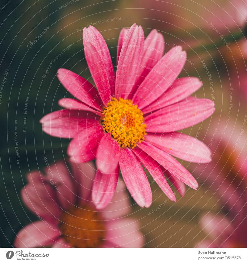 Makroaufnahme eines rosa Gänseblümchens Blume Sommer Pflanze Natur grün Frühling Blüte Wiese flower gelb Nahaufnahme Gras Garten Unbekümmertheit Farbfoto Mensch