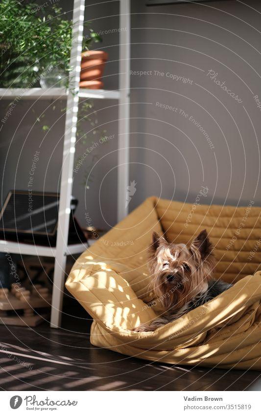 Süßer Hund Sonne gelb im Innenbereich Sommer Familie Tier Farbfoto Tierporträt Natur sich[Akk] entspannen Haustier Licht