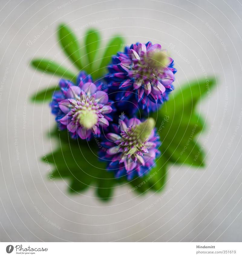 Prilblume [sophisticated] blau grün schön Pflanze Blatt Liebe Frühling grau Blüte außergewöhnlich stehen frisch ästhetisch Sauberkeit Blühend fantastisch