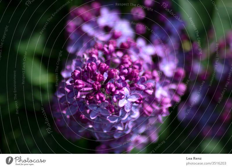 Ich habe in diesem Frühjahr einige schöne Blüten gefunden. Blume Überstrahlung Frühling Sonne Tag glänzend hell Fliederbusch violett purpur farbenfroh Farben