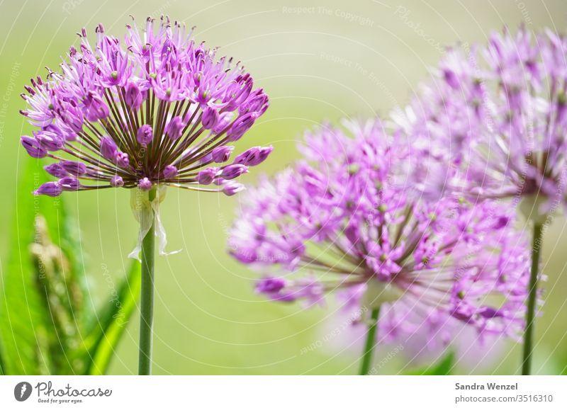 Blütenköpfe Blumen lila Bienen Falter Nektar Garten Alium Gladiator Park Vegetation Schönheit