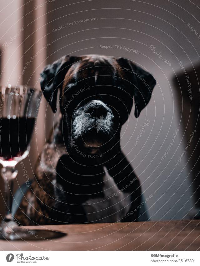 Boxer Hund sitzt an einem Tisch und schaut auf ein Glas Rotwein, Gesicht liegt im Schatten Sucht Haustier Esstisch Trinken Alkohol Kristall Problem sitzen