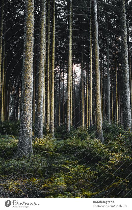 dunkler Wald mit hohen schlanken Laubbäumen und üppigem Bodenbewuchs, Sonnenlicht strahlt die Bäume seitlich an. Baum dunkel Angst Strahlen Holz Büsche Busch