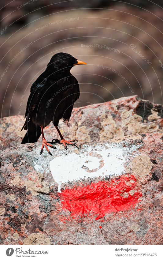 Alpendohle auf Korsika Blick nach vorn Tierporträt Panorama (Aussicht) Zentralperspektive Vogelperspektive Starke Tiefenschärfe Sonnenlicht Kontrast Licht Tag