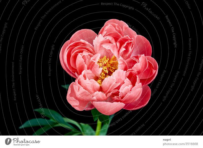 Barock | Eine pinkfarbene Pfingstrose in voller Blüte isoliert vor schwarzem Hintergrund. rosa volle Blüte prachtvoll üppig (Wuchs) schön prachtexemplar Blühend